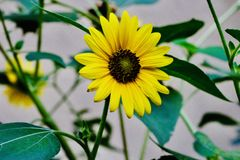 Girasoles amarillos hermosos en los campos fotografía de archivo libre de regalías
