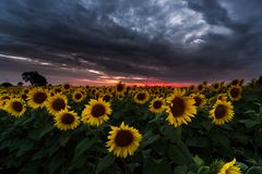girasoles amarillos y anaranjados en campo durante puesta del sol en Polonia foto de archivo libre de regalías