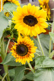 Girasoles amarillos y anaranjados en la floración Fotografía de archivo