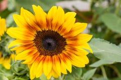 Girasoles amarillos y anaranjados en la floración Imagenes de archivo