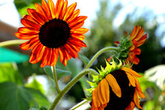 Girasoles anaranjados Fotografía de archivo libre de regalías