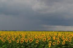 Girasoles antes de la lluvia Foto de archivo