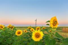 Girasoles antes de la salida del sol Fotografía de archivo