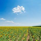 Girasoles bajo el cielo azul Fotografía de archivo libre de regalías