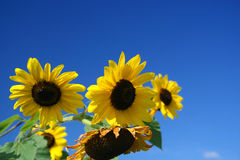 Girasoles bajo el cielo azul Imagen de archivo libre de regalías