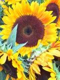 Girasoles brillantes y soleados preciosos imagen de archivo libre de regalías