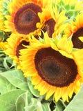 Girasoles brillantes y soleados preciosos enormes imagen de archivo