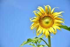 Girasoles con el cielo azul Fotos de archivo libres de regalías