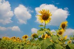 Girasoles con el cielo azul Foto de archivo libre de regalías