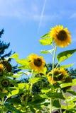 Girasoles con el cielo azul en cierre del campo del girasol para arriba Fotografía de archivo libre de regalías