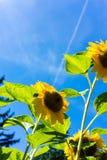 Girasoles con el cielo azul en cierre del campo del girasol para arriba Imagen de archivo