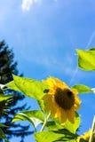 Girasoles con el cielo azul en cierre del campo del girasol para arriba Imágenes de archivo libres de regalías