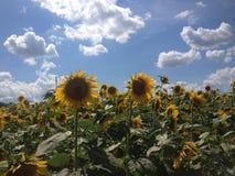 Girasoles con el cielo azul y las nubes Imagen de archivo libre de regalías