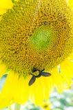 Girasoles con la abeja de carpintero Fotos de archivo