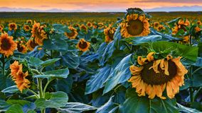 Girasoles de Colorado del gigante en la puesta del sol imagen de archivo libre de regalías