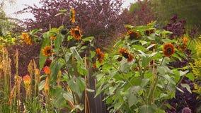 Girasoles de muerte en un jardín metrajes