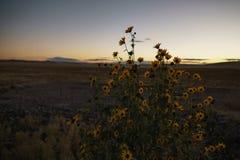 Girasoles de pradera después de la puesta del sol Fotografía de archivo