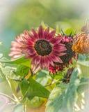 Girasoles del arlequín en un día del ` s del verano Foto de archivo libre de regalías