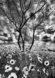 Girasoles del verano en Tejas imagen de archivo