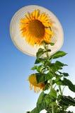 Girasoles divertidos con el cielo azul y el sombrero Fotos de archivo libres de regalías