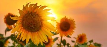 Girasoles en alto verano con el sol naciente imagenes de archivo