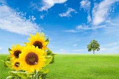 Girasoles en campo de hierba verde con el árbol y el cielo azul Fotos de archivo