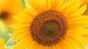 Girasoles en día soleado del verano fotografía de archivo