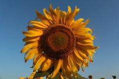 Girasoles en el campo Foto de archivo libre de regalías