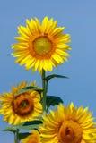 Girasoles en el campo con una abeja Imagenes de archivo