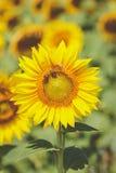 Girasoles en el campo con una abeja Imágenes de archivo libres de regalías