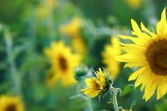 Girasoles en el campo por una tarde caliente del verano Foto de archivo libre de regalías