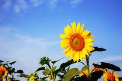 Girasoles en el cielo azul Foto de archivo libre de regalías