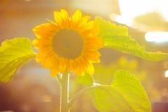 Girasoles en el sol foto de archivo libre de regalías
