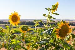 Girasoles en el sol de la tarde Foto de archivo