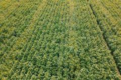 Girasoles en Francia Antena del campo de los girasoles Foto de archivo libre de regalías