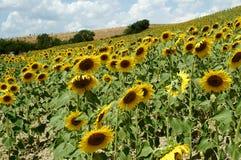 Girasoles en la granja de Toscana fotografía de archivo libre de regalías