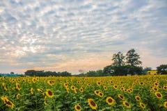 Girasoles en la puesta del sol Fotografía de archivo