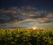 Girasoles en la puesta del sol Fotografía de archivo libre de regalías