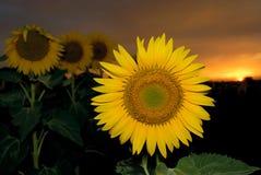 Girasoles en la puesta del sol Imágenes de archivo libres de regalías