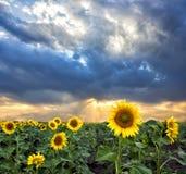Girasoles en la puesta del sol en el campo Foto de archivo libre de regalías