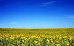 Girasoles en un campo con el cielo azul Fotos de archivo libres de regalías