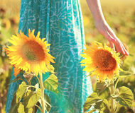 Girasoles en un campo con la mano de la mujer Imagen de archivo