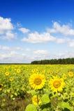 Girasoles en un campo del granjero Imagen de archivo