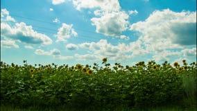 Girasoles en un campo en la mudanza del fondo metrajes