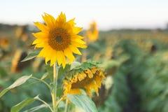 Girasoles en un campo por la tarde Fotos de archivo