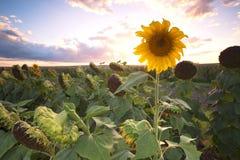 Girasoles en un campo por la tarde Fotografía de archivo libre de regalías