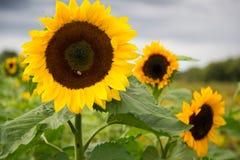 Girasoles en un jardín con una abeja Fotos de archivo