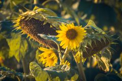 Girasoles en una luz de la puesta del sol fotografía de archivo libre de regalías