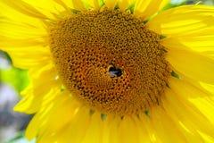 Girasoles felices en el campo polinizado por las abejas imágenes de archivo libres de regalías