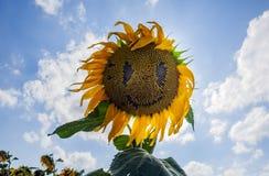 Girasoles felices en el campo polinizado por las abejas imagen de archivo
